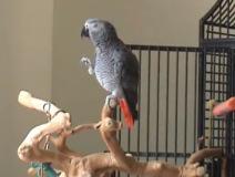 papagaio-always
